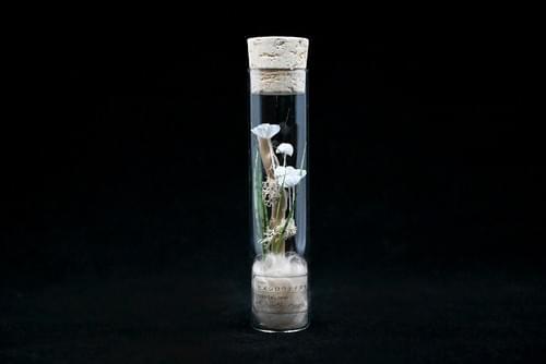 紙キノコ試験管標本 ヒメシロウテナタケ