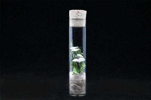紙キノコ試験管標本 アシグロホウライタケ