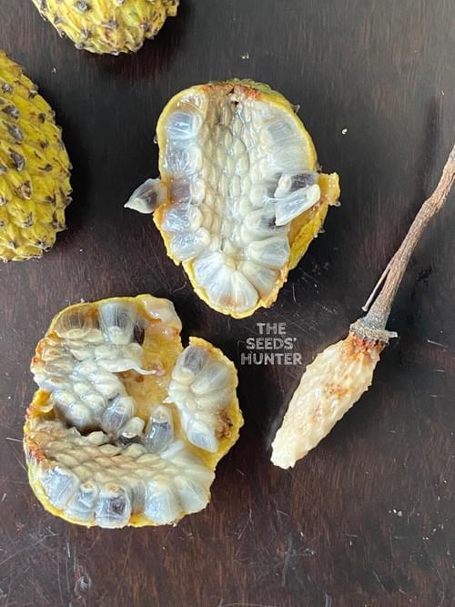 Araticu-tanga ( Annona neosericea )