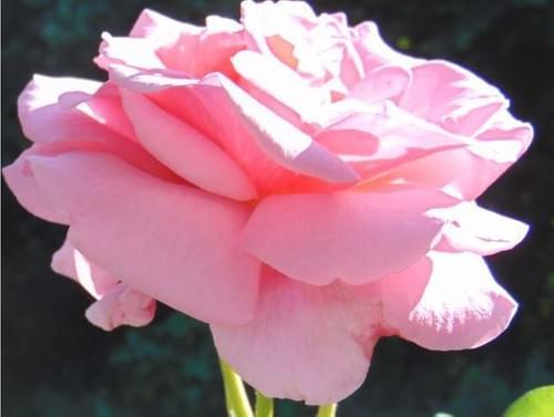 Pink Rose / Rose
