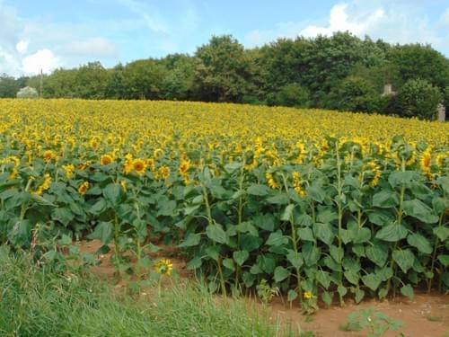 A field of sunflowers / Tournesols