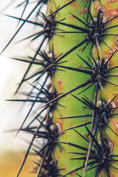 Saguaro 8
