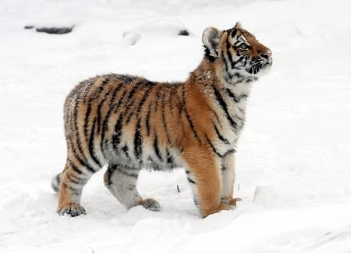 Tiger Cub's Punch