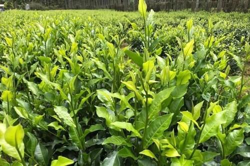 日月潭紅玉紅茶(4兩)