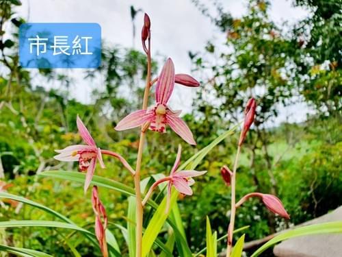 【限量免運】蘭花3盆(不挑款)