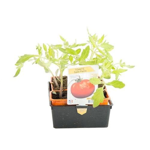 Plants Tomates Variété Ancienne Saint Pierre