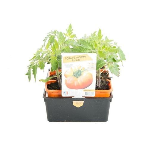 Plants Tomates Variété Ancienne Ananas