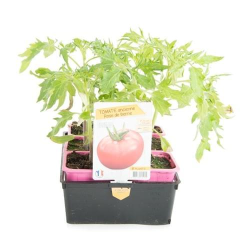 Plants Tomate Variété Ancienne Rose de Berne
