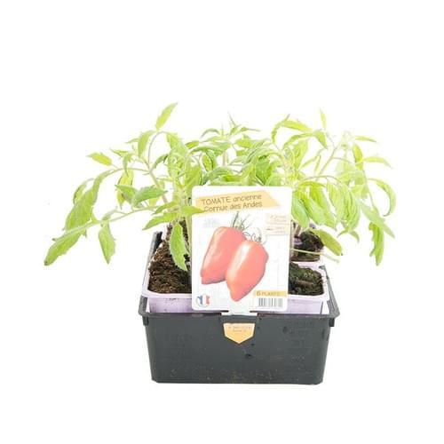 Plants Tomates Variété Ancienne Cornue des Andes
