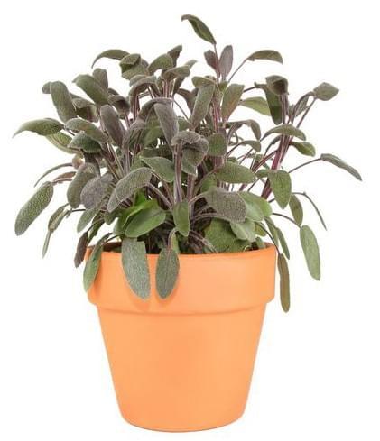 Sauge Pourpre - Salvia Purpurea