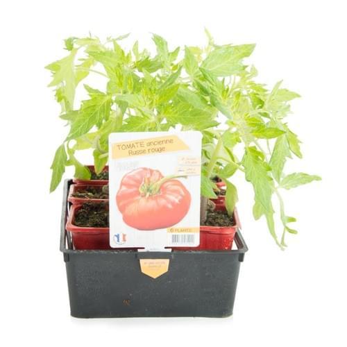 Plants Tomate Variété Ancienne Russe Rouge