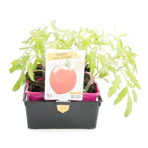 Plants Tomates Variété Ancienne Coeur de Boeuf