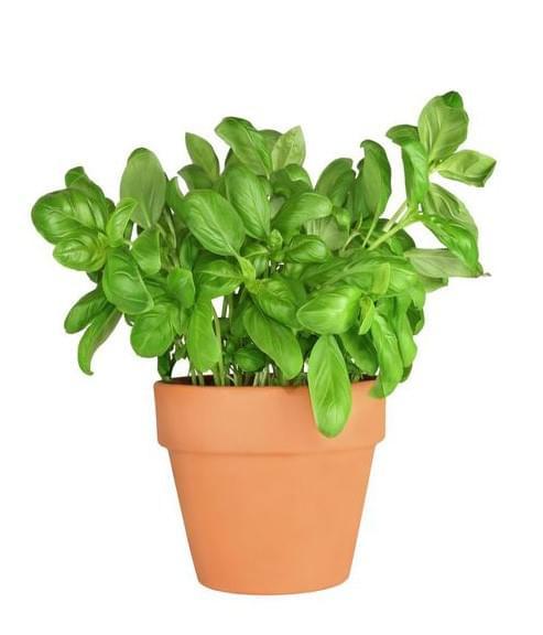 Plantes Aromatique Basilic