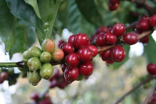 Organic Green Coffee Beans Raw 5 Lbs Bag