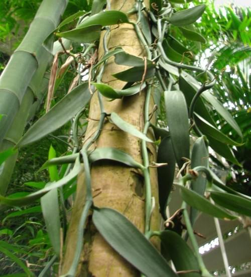 Picadura Vanilla Planifolia Beans Shortcuts Length: 1-2 inches (2.5 cms - 5.00 cms) Best for Extract