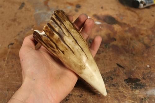Jurassic World - Indominus Rex Broken Tooth - Prop Replica