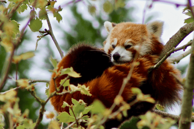 Red Panda at it's all the glory.
