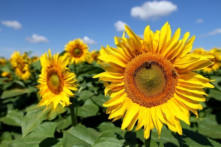 Several large yellow sunflowers with green foliage, against a blue sky background with a few wispy passing clouds