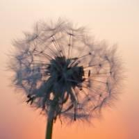 A fluffy dandelion in the sunset