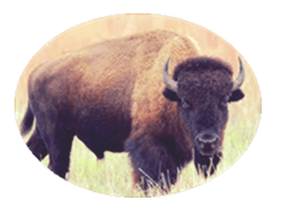 Image of buffalo
