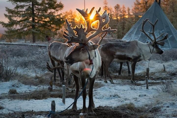 Hovsgal Lake Reindeer