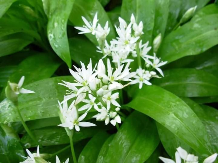 Wild Garlic in the Elmfield Garden