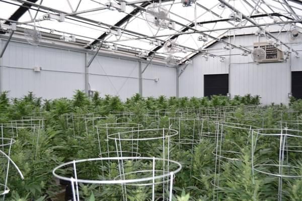 Colorado, Cannabis, Greenhouse, Grow