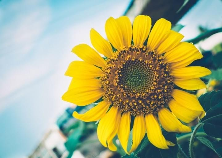 Happiness - Sunflower