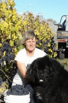 Dog helping grape picking at Torlesse Wines