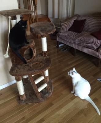 Licorice and Marshmallow on the cat tree