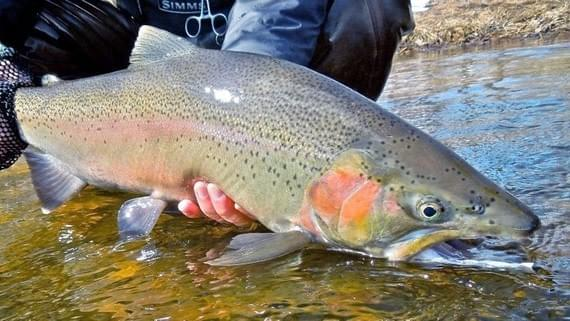 Little Manistee River Fishing Report