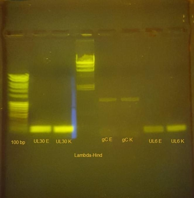 Agarose gel on the transilluminator. You can see following bands: 100 bp ladder, UL30 with primers of another company, UL30 with Kilobaser primers, Lambda-Hind ladder, gC with primers of another company, gC with Kilobaser primers, UL6 with primers of another company, UL6 with Kilobaser primers.