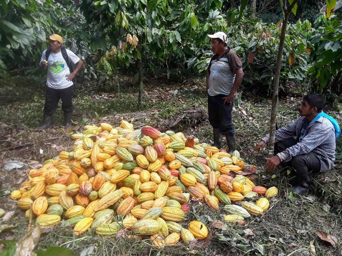 Agroforestry harvest in the Maya Mountain Forest Reserve