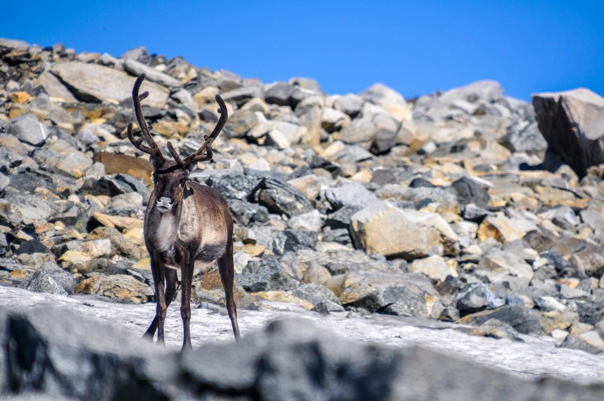 Image showing a reindeer in Jotunheimen National Park, Norway.