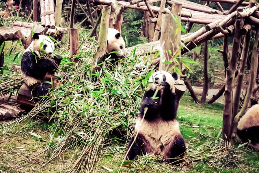 Image showing several Pandas eating at the Panda Base in Chengdu, China.