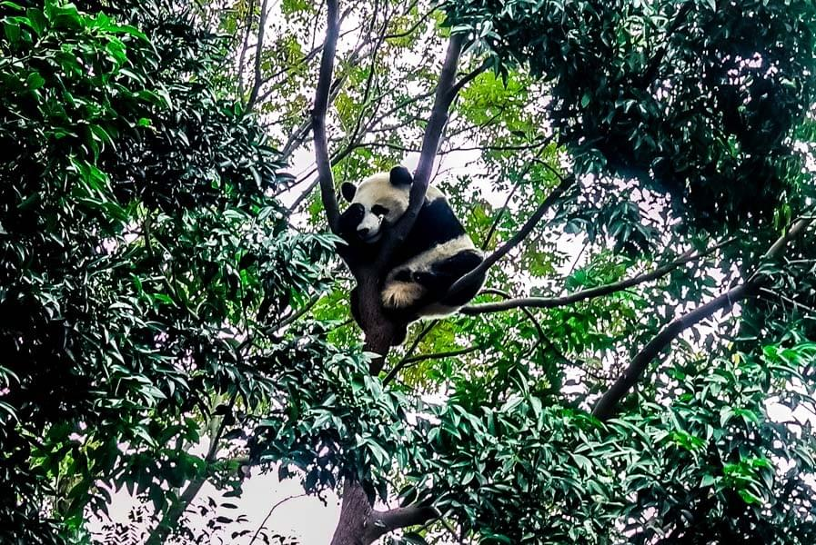 Image showing Giant Panda sleeping in the trees at the Panda Base in Chengdu, China.