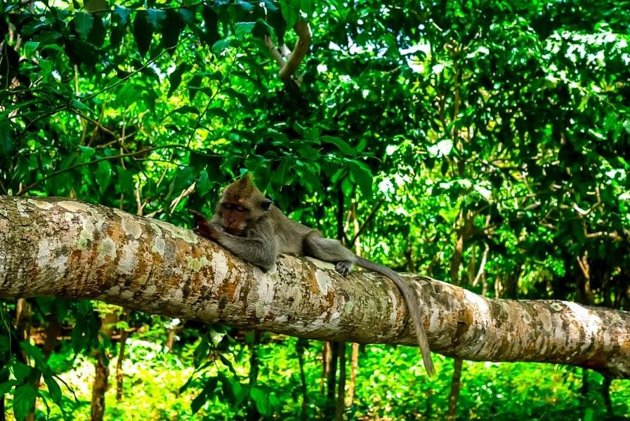 Image showing a monkey sleeping on a tree at Ulu-Watu temple in Bali, Indonesia.