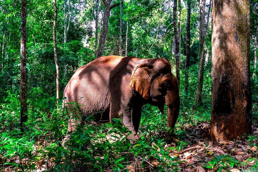 Image showing a rescued former working elephant in the protected forest of the Elephant Valley Project (EVP) in Sen Monorom, Cambodia.