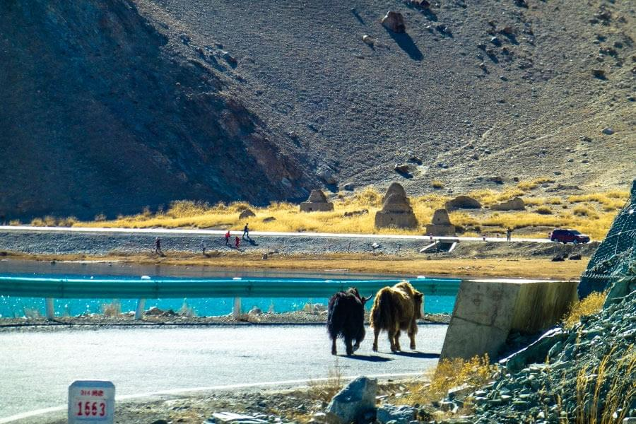 Image showing to Yaks walking along the Karakoram Highway near Karakul lake between Kashgar and Tashkurgan in China.