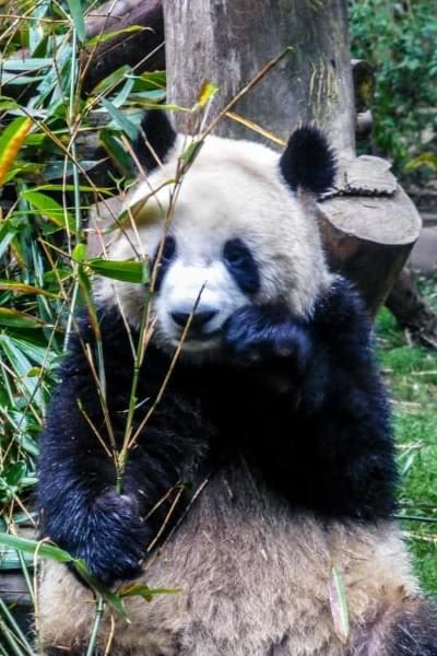 Image showing a Panda eating at the Panda Base in Chengdu, China.