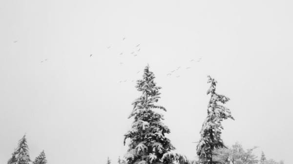 Flock of birds fly in snow, Renton Highlands, Winter 2017