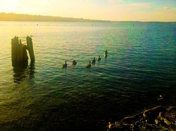 Ducks at Gene Coulon Memorial Beach Park, Renton, Wash.