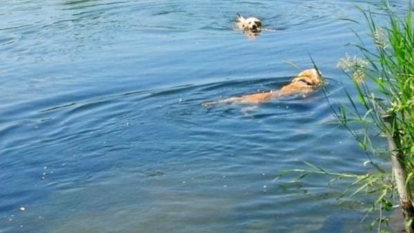 Dogs swimming at Cedar River Watershed, Renton, Wash.