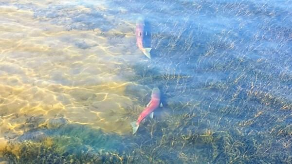 Salmon spawning at Cedar River Watershed at Lake Washington, Renton, Wash., October 8, 2017