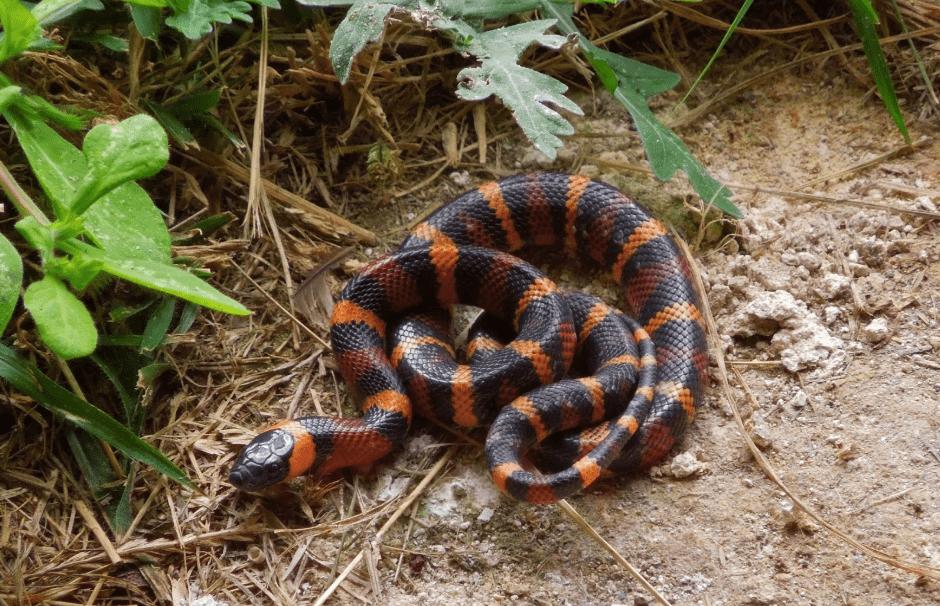 serpent réserve de Calakmul