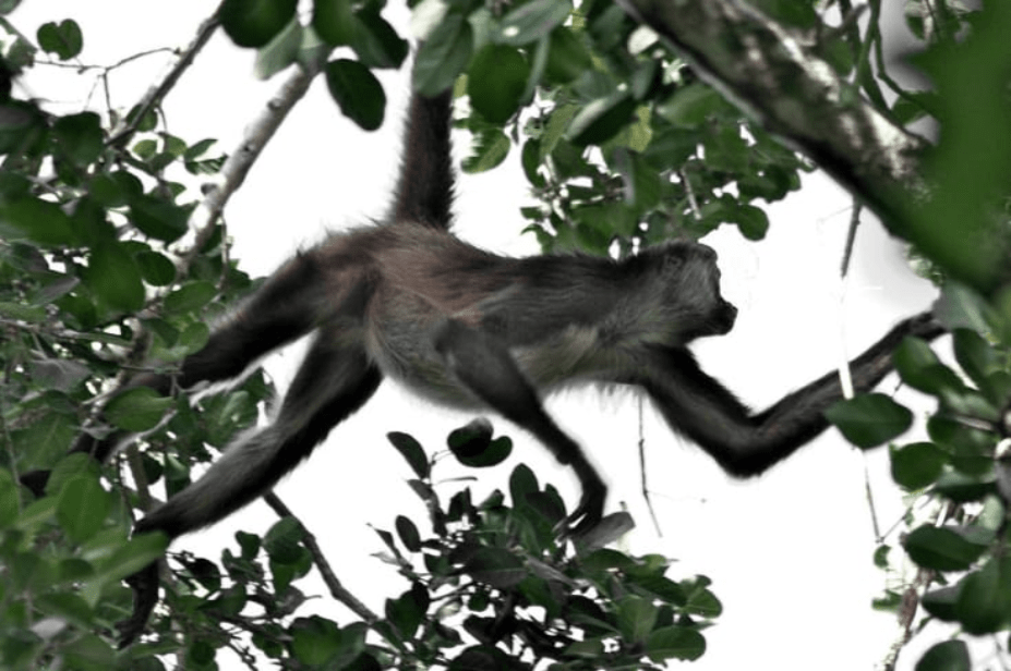 singe araignée - réserve de calakmul