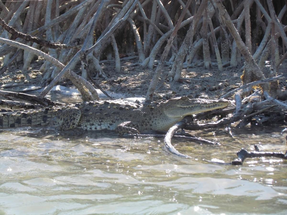 crocodile sian kaan mangrove