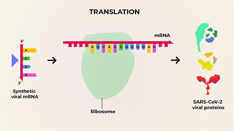 mRNA production