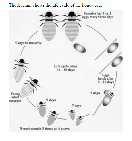 Life cycle of the honey bee.