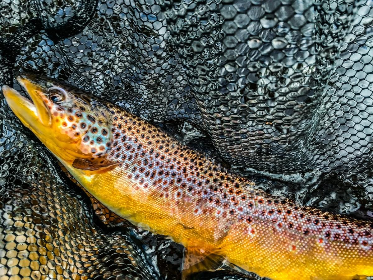 upper peninsula brown trout